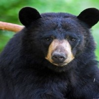 Black-bear-close-up
